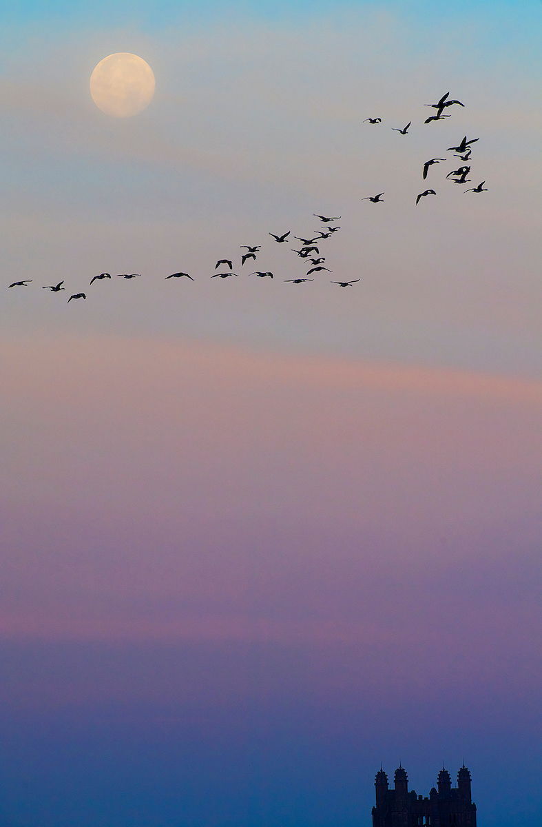 Moon setting above flock of birds and Boyd Tower