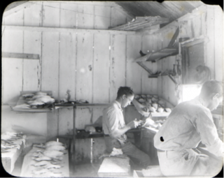 Two men preparing bird skins for a museum exhibit