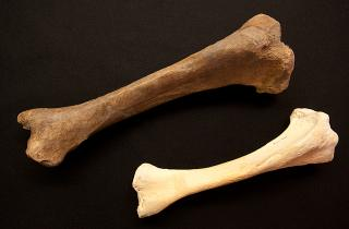 the tibia of the short-faced bear is shown next to the tibia of a polar bear