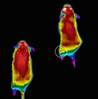 Image shows colorized infrared images of mice after performing low-intensity exercise on a treadmill.