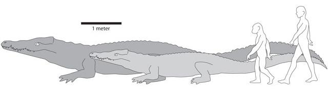 The illustration shows the comparative sizes of ancient/modern crocs and ancient/modern humans.