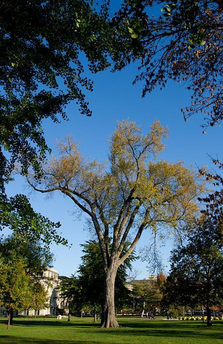 elm tree on the pentacrest