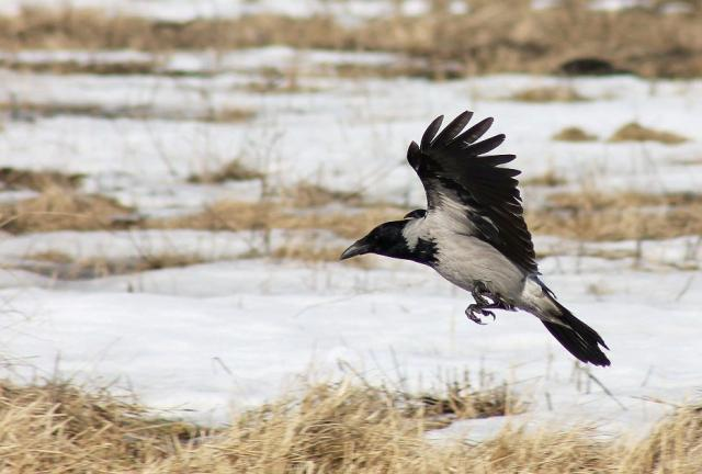 A crow flying