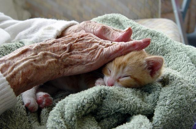 elderly hands pet a kitten