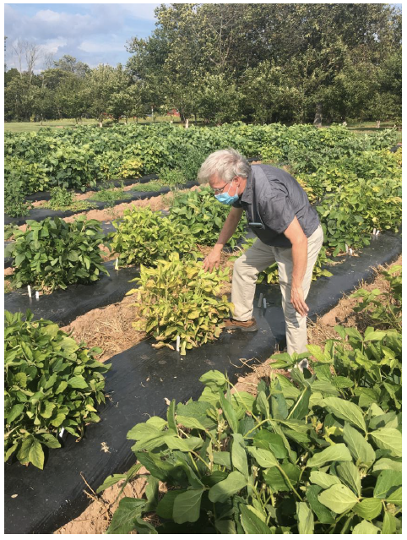 Wade Elmer, Center for Sustainable Nanotechnology (CSN) affiliate and vice director of plant pathology and ecology with the Connecticut Agricultural Experiment Station, observes soybeans used is part of an ongoing experiment where CSN materials are being