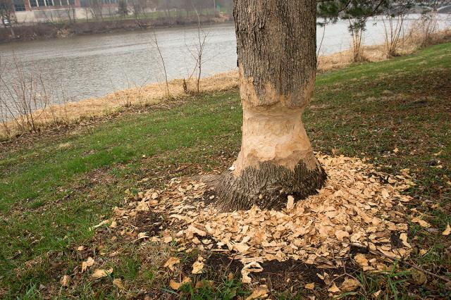 Trunk of tree along the Iowa River shows evidence of beaver gnawing