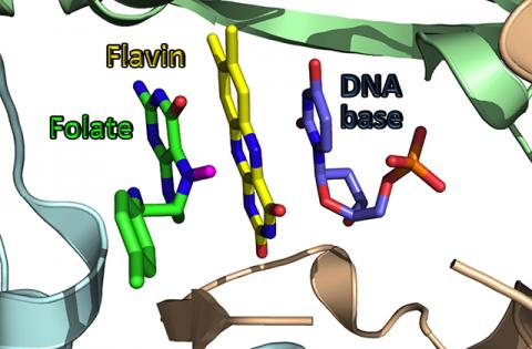 University of Iowa chemists led by Amnon Kohen have unraveled the chemistry underlying how some deadly diseases, such as tuberculosis, produce thymine, a DNA base critical for these diseases to survive and reproduce. The team found these diseases use a di