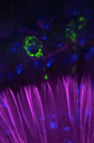 The auditory organ of the fruitfly, seen with fluorescent cell markers