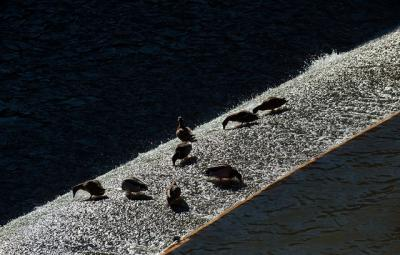 Ducks splash on the spillway