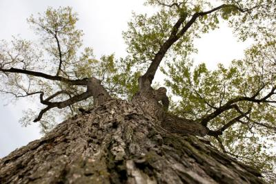 close up view of elm tree on campus