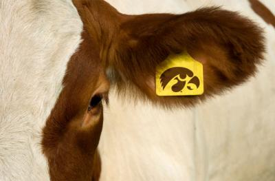 a cow with an ear tag that features a tigerhawk