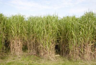 miscanthus for biomass