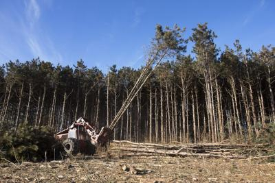Bill Miller of Dubuque uses a feller bunchier to cut down pine trees at F.W. Kent Park on Monday, Jan. 14, 2013, near Tiffin. More than 26,000 non-native trees that were planted 40 years ago are now diseased and dying, and the Johnson County Conservation