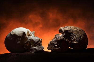 Two skulls show how chins have become pointier.