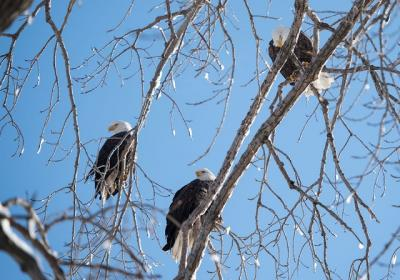 Eagles roosting in trees near Iowa River