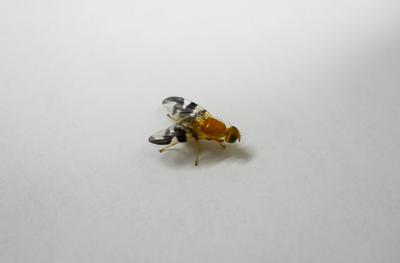 Picture of walnut fly, one of insects studied by UI researchers as part of research into biodiverrsity in ruban areas.