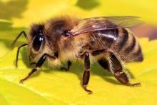 Protecting Iowa's Wild Bees: Your Backyard Counts