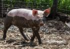 A piglet half covered in mud.