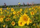 golden sunflowers with ragbrai riders