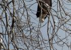 Eagle roosting near the Iowa River