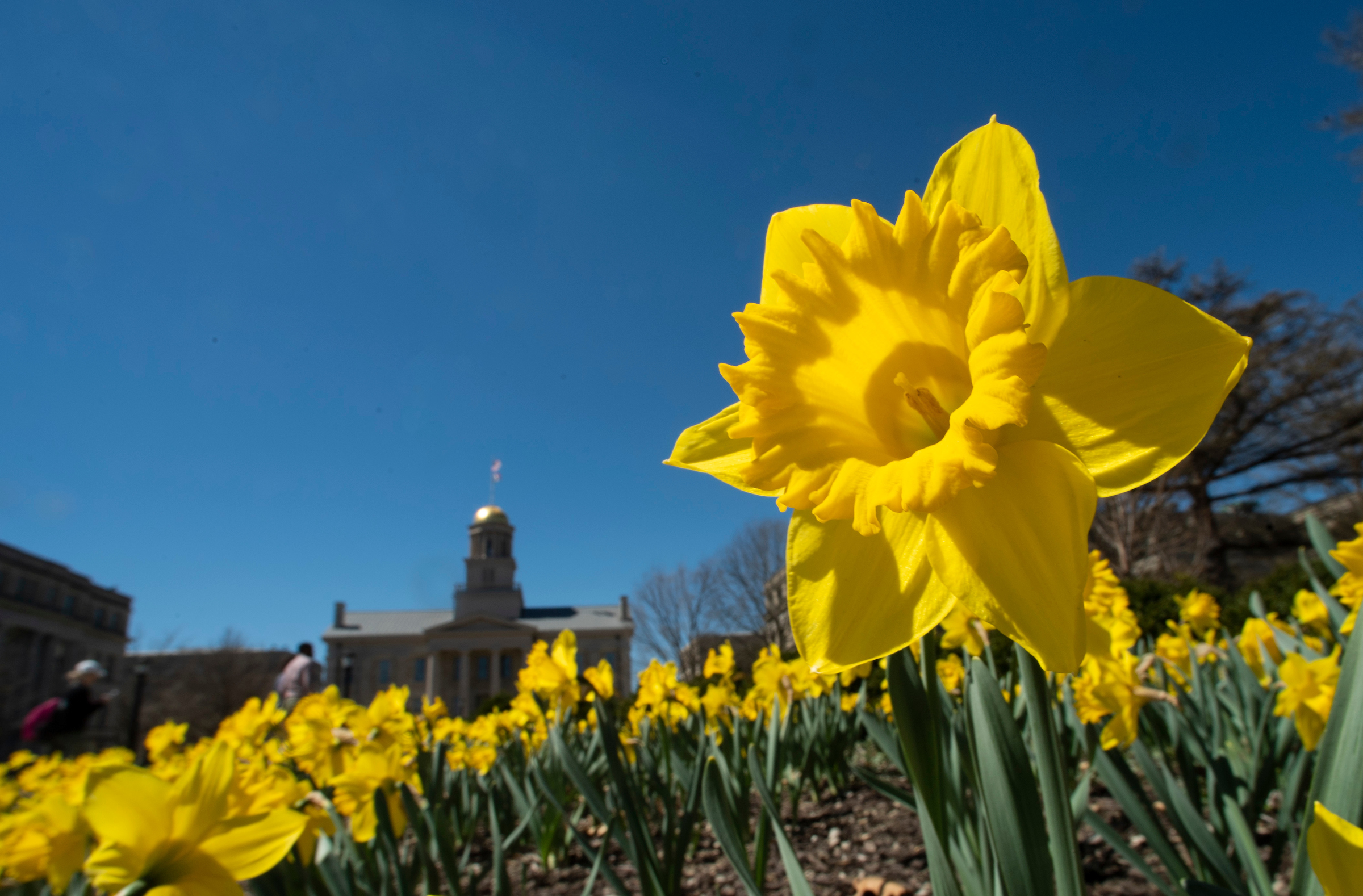 daffodils and old capitol
