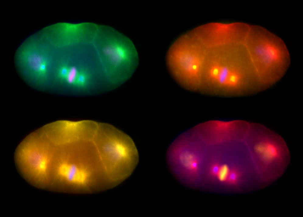 Lab photographs of dividing cells