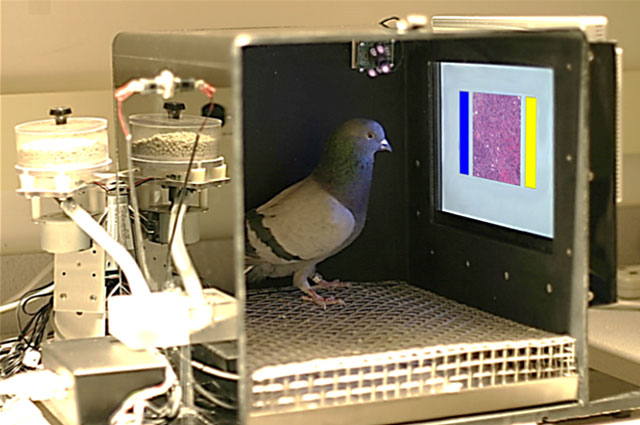 Pigeon performing striking text